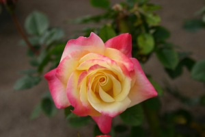 colourful_rose